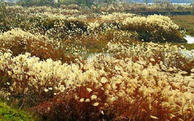 原生态湿地 芦花美极啦