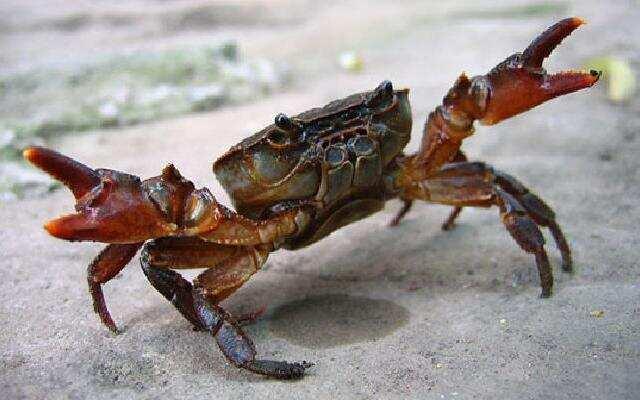 """1818在路上:""""螃蟹母子""""火力全开 拿起石头就砸人!"""