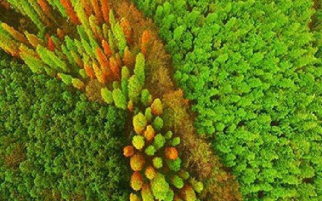 清晰可见赭红的水杉林