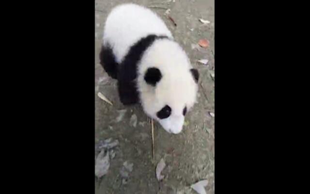 这只大熊猫真是蠢得没sei了