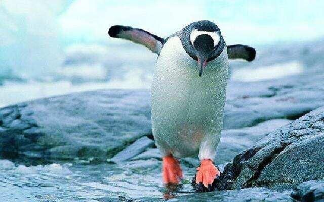 """呆萌企鹅的""""艰难""""生活"""