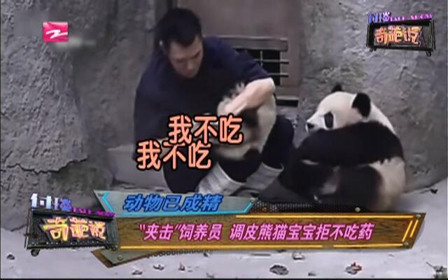 """动物已成精:""""夹击""""饲养员  调皮熊猫宝宝拒不吃药"""