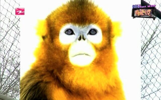 """猴子齐聚:猴年到  看看猴子们的""""自拍照"""""""