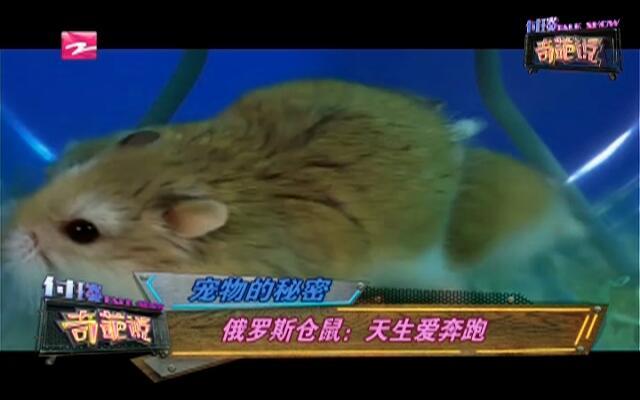 宠物的秘密:俄罗斯仓鼠——天生爱奔跑