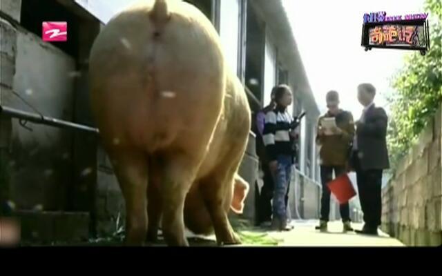 千斤猪王:养猪养出千斤猪王  主人如获至宝