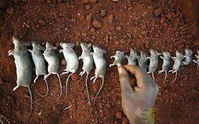 看鉴地理:新疆老鼠为何母子相食 生命的代价