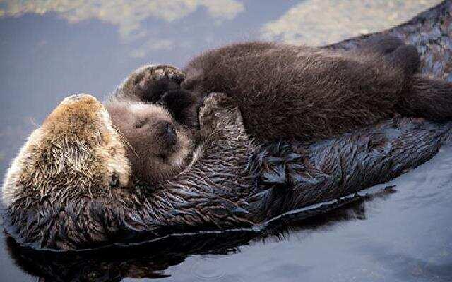 小水獭宝宝该学习下水游泳了,过程很艰辛,妈妈教得心累。