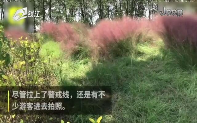 南京江心洲粉黛乱子草  被踩成杂草地