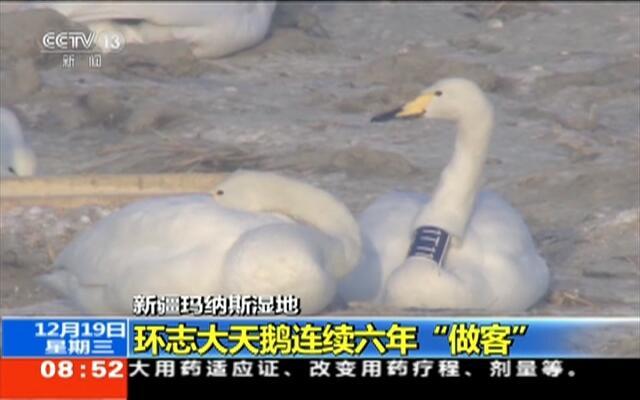 """新疆玛纳斯湿地:环志大天鹅连续六年""""做客"""""""