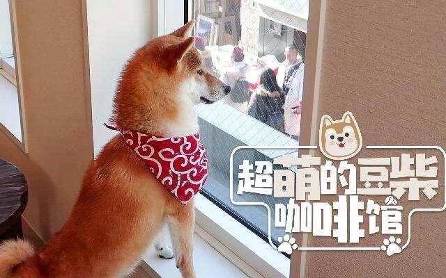 【HI走啦】岛国人气柴犬咖啡馆,每天8小时不间断让你撸狗,超萌超治愈!