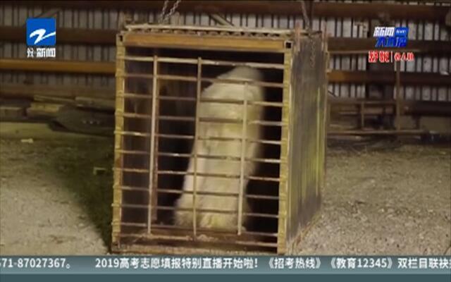 闯入俄罗斯城市的北极熊被送往动物园